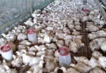 ВОренбуржьефермеры жестоко обращались с сельскохозяйственной птицей и скотом