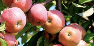 Зачем опытные садоводы вбивают в яблоню ржавый гвоздь? копия