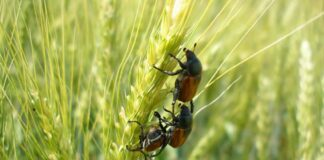 Защита посевов зерновых культур от хлебного жука-кузьки