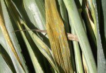 Желтая ржавчина пшеницы