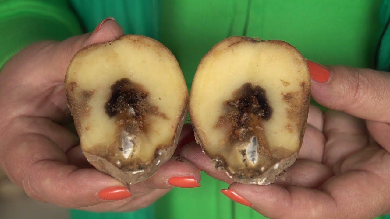 Photo of Болезни картофеля при хранении и борьба с ними