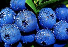 В фермерском хозяйстве Ставропольского края будут выращивать голубику