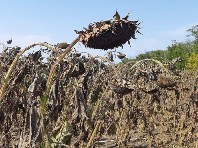 Десикация посевов подсолнечника