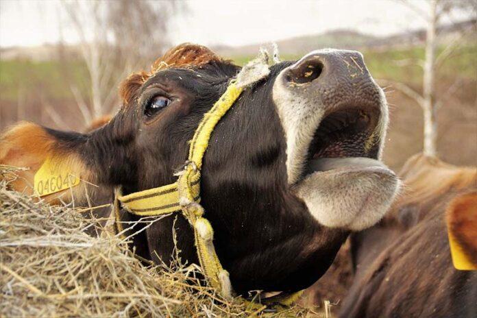 Фермеры Алтая отправляют коров на бойню из-за низких закупочных цен на молоко