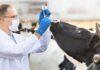 Минсельхоз планирует остановить бесконтрольное применение лекарственных препаратов в животноводстве