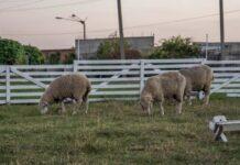 На Ставрополье специалисты завершают массовое осеменение овец