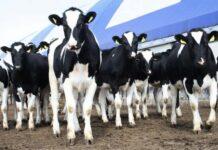 Нулевая ставка НДС для племенной животноводческой продукции продлевается на два года