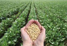 Российская соя и рапс содержат ГМО