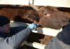 Ростовского фермера привлекли к административной ответственности за отсутствие прививок у коров