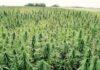 Узбекистан будет выращивать промышленный каннабис в медицинских целях