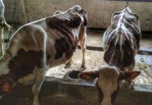 На вологодской ферме голодной смертью умерли почти 200 коров