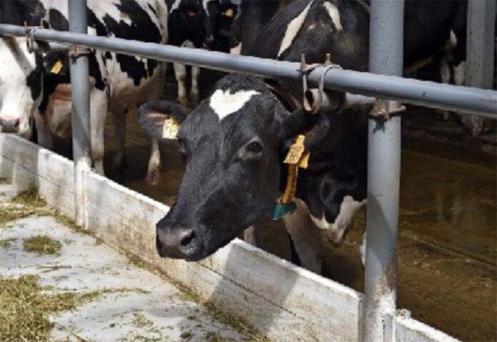 Неизвестный вирус погубил 78 коров в Пермском крае