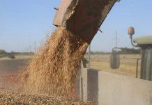 Саратовская область в этом году не дополучила полмиллиона тонн зерна