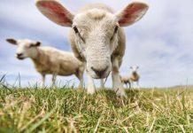 В Костромской области обнаружены овцы-призраки