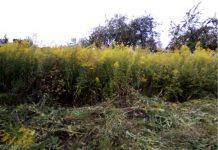 За сорную растительность на землях сельхозназначения — штраф
