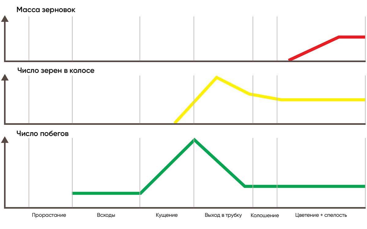 Рис. 1 Динамика формирования элементов урожайности зернового растения.