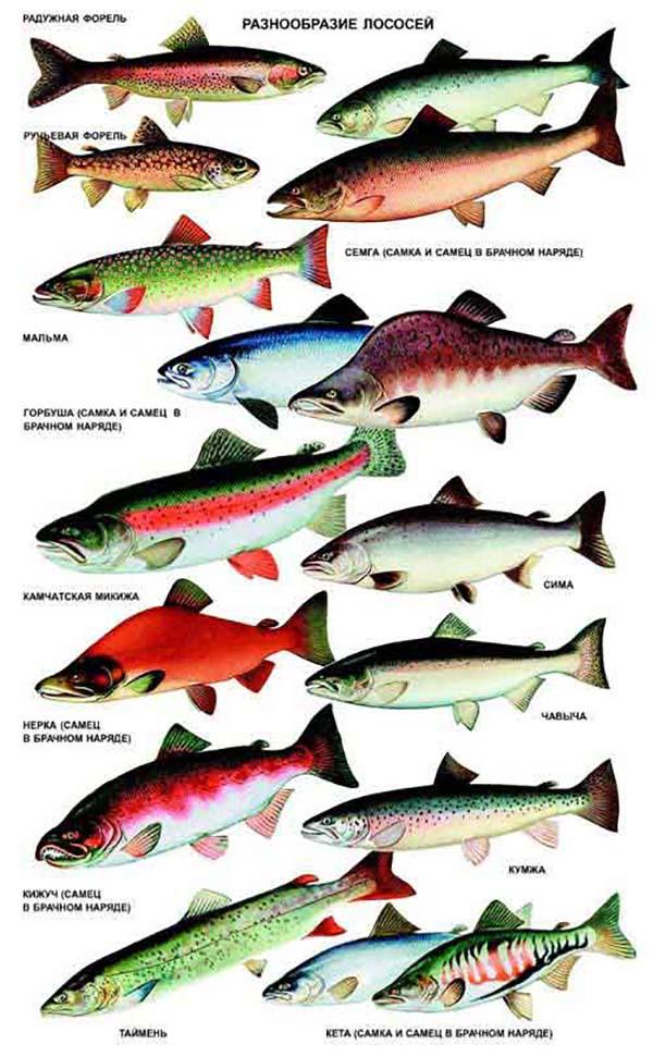 разнообразие лососевых