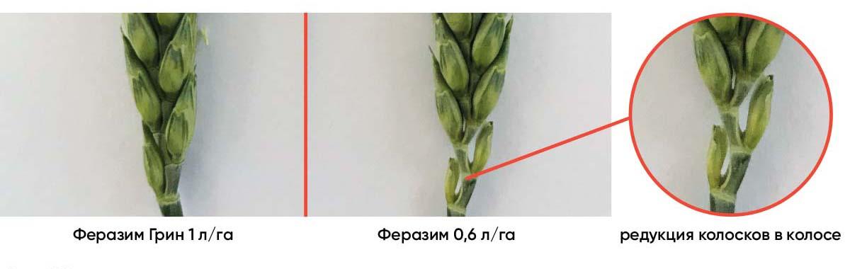 Уменьшение количества редуцированных колосков