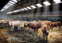 ВБашкириипроизошёл несанкционированный забой крупного рогатого скота