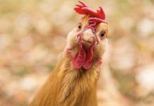 В России активно распространяется птичий грипп