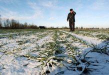 Власти Ставропольского края оценивают ситуацию с посевами зерновых как критическую
