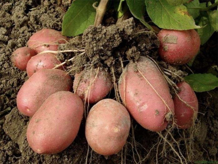 Выращивание картофеля из «нелегальных» семян может обернуться для россиян административной ответственностью