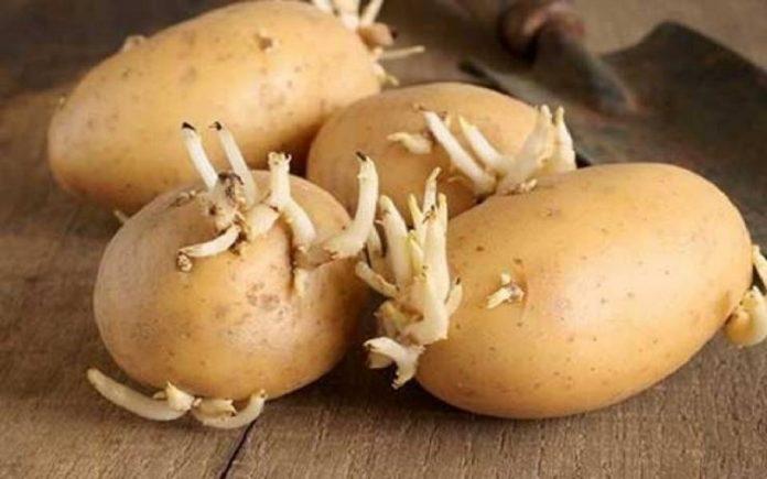 Какие клубни картофеля подходят для семенных целей