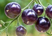 Лучшие сорта и гибриды черных томатов для выращивания в теплице