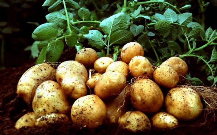 Тепловой шок или как и для чего озеленять семенной картофель?