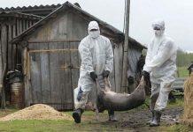В Башкирии обнаружили вирус африканской чумы свиней в печеночном паштете