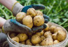 Секреты огородника: как вырастить богатый урожай картофеля