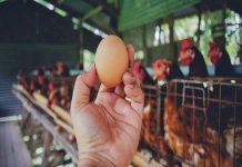Курам на смех — в России отмечен дефицит инкубационных яиц
