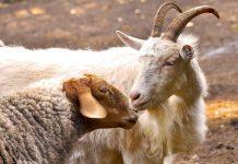 Овцеводство и козоводство Оренбуржья находится в катастрофическом состоянии