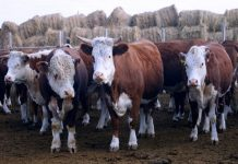 В Якутии существенно уменьшилось поголовье скота