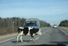 В Сочи запретят безнадзорный выгул сельскохозяйственных животных