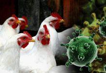 Птичий грипп: как уберечь крылатых питомцев