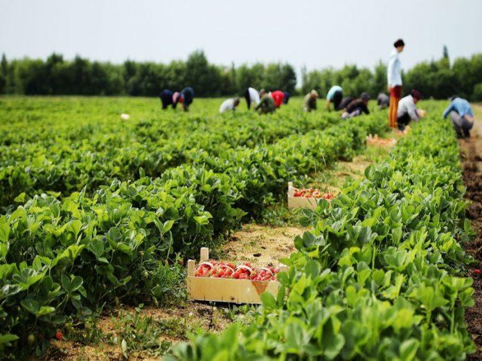 Нехватка трудовых мигрантов заставит аграриев сокращать посевные площади