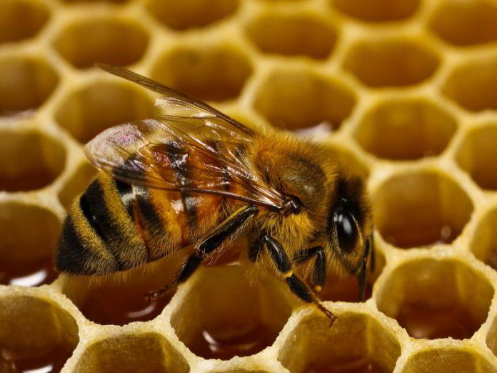 Минсельхоз РФ разработал новые правила содержания медоносных пчел
