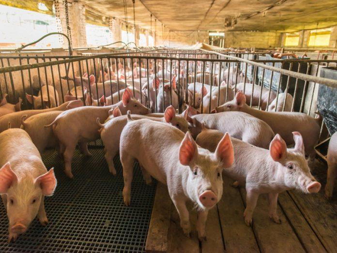 Хабаровского фермера оштрафовали за выгул свиней