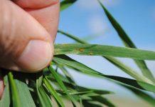 Болезни озимых зерновых культур