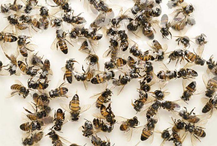 Самые частые болезни пчел, чем болеют пчелы
