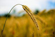 Рост урожайных цен может привести к продовольственной инфляции