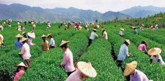 Высококачественное развитие сельского хозяйства увеличивает доходы китайских фермеров