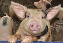 Крупнейшему производителю свинины в Нижегородской области предлагают компенсировать потери охотхозяйствам