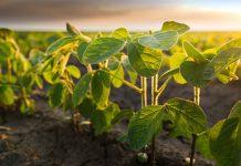 Бизон Эдванс новый гербицид для защиты сои
