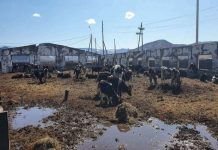 Бурятскую молочную ферму выкупили с огромными долгами