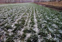 На территории Курской области вымерзла значительная часть озимых
