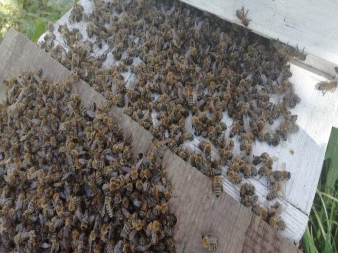 В Орловской области пчелы массово отравились ядохимикатами