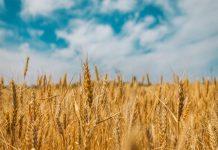 В России сократятся посевы пшеницы