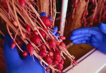 Российские ученые нашли способ выращивать до шести урожаев картофеля в год